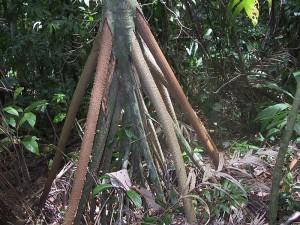 Le radici aeree della Palma che cammina, la Socratea exorrhiza, Costa Rica, National Parc La Amistad